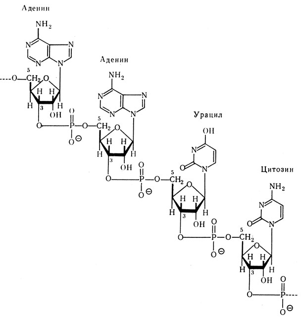 Первичная структура РНК