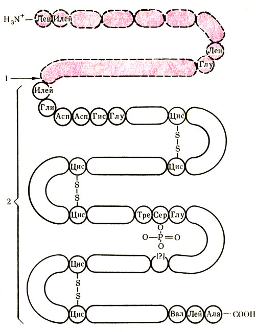 Пепсиноген фото
